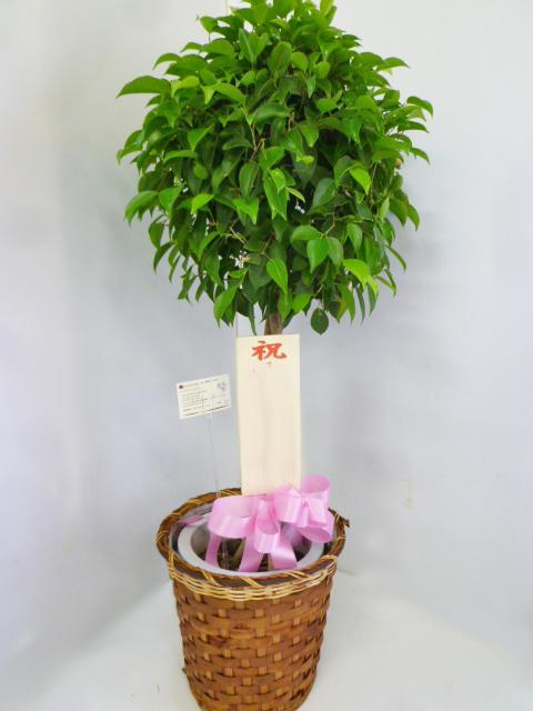 観葉植物お祝い用