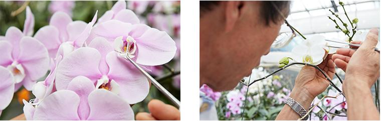 胡蝶蘭の配合