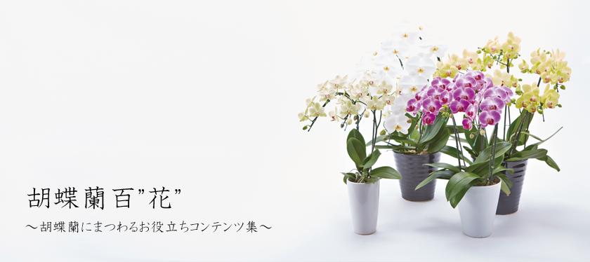 """胡蝶蘭百""""花""""へようこそ!"""