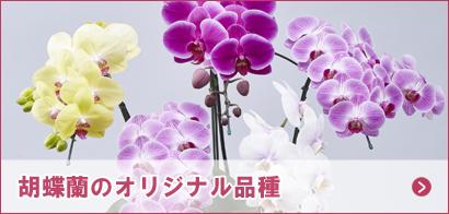 胡蝶蘭のオリジナル品種
