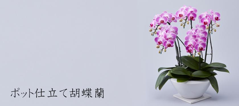 ポット仕立て胡蝶蘭
