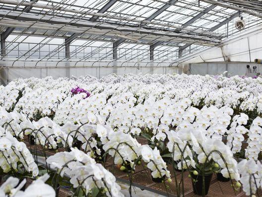 胡蝶蘭の生産農園