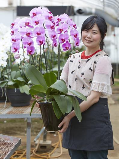 胡蝶蘭大輪(ピンク)の花