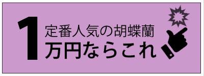 定番人気の胡蝶蘭1万円ならこれ