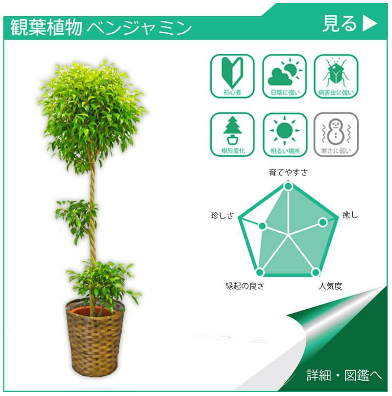 観葉植物図鑑 ベンジャンミン
