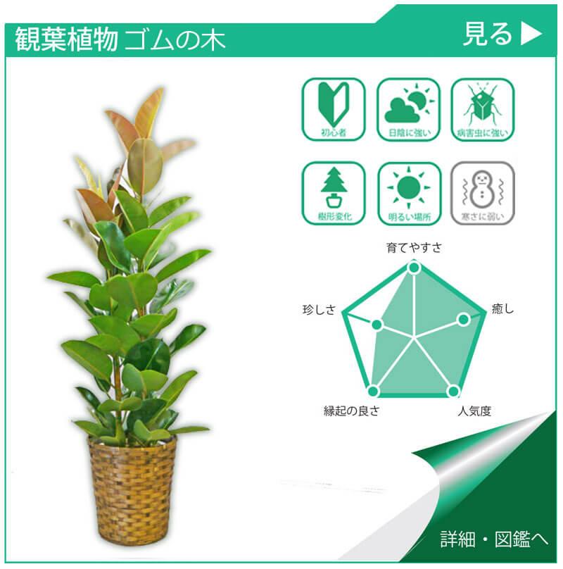 観葉植物図鑑 ゴムの木