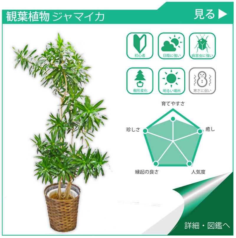 観葉植物図鑑 ジャマイカ