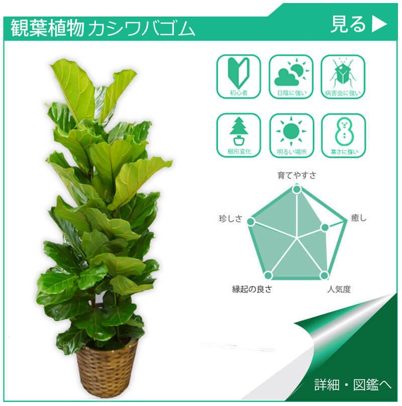 観葉植物図鑑 カシワバゴム