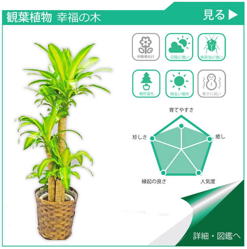 観葉植物図鑑 幸福の木