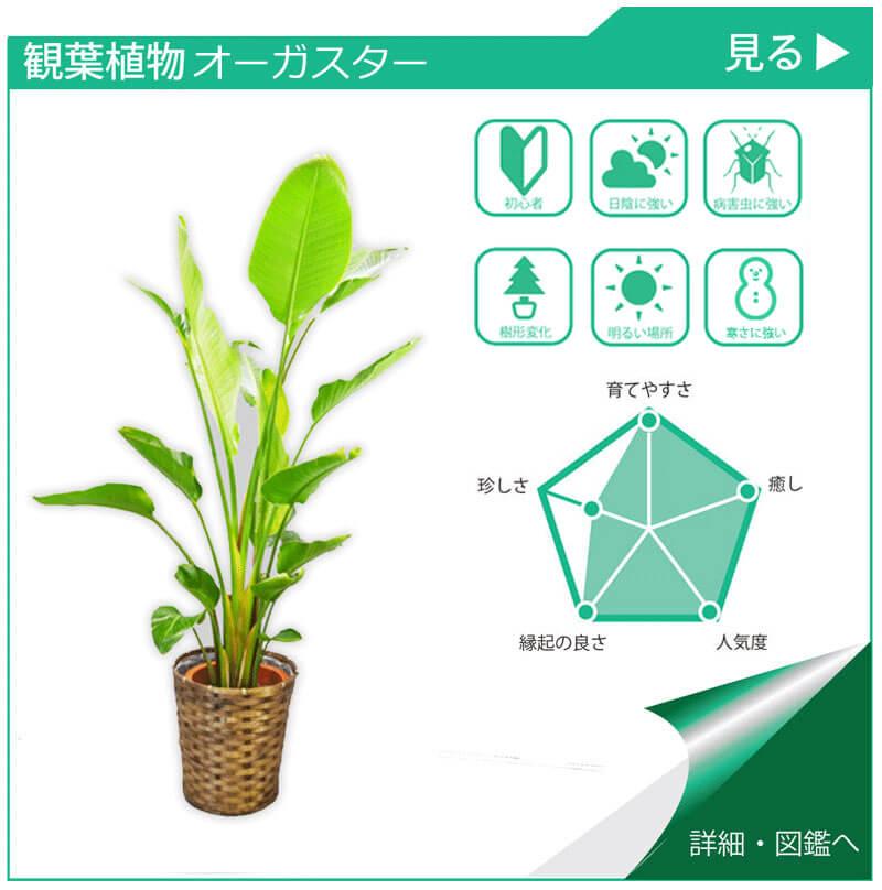 観葉植物図鑑 オーガスター