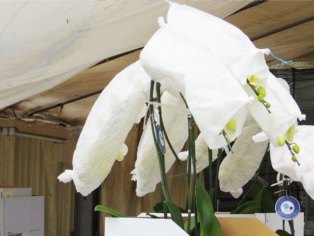 胡蝶蘭は保護用の紙に包まれている