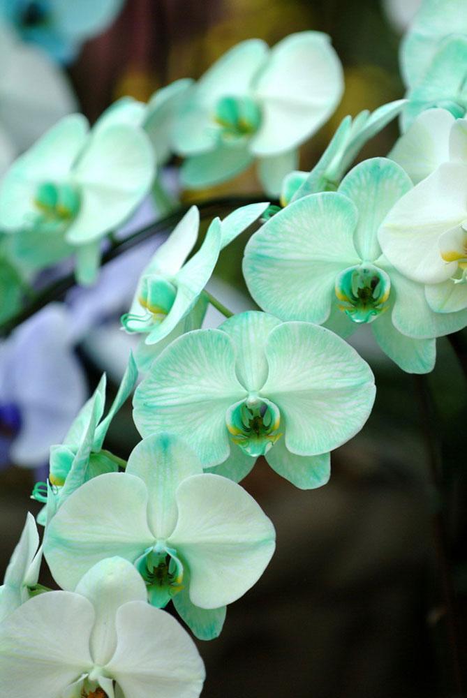 希少価値が高く珍しいグリーン胡蝶蘭