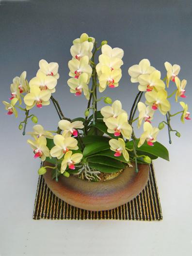 小まどか黄色胡蝶蘭