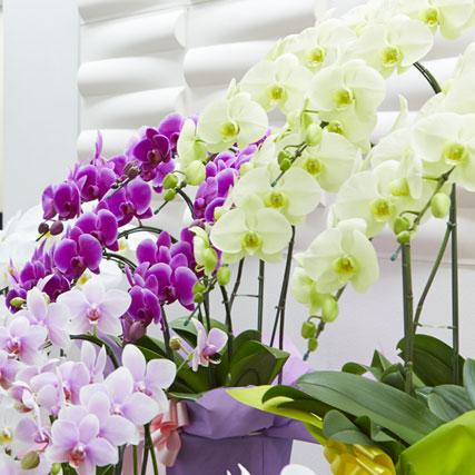 カラーで選ぶ胡蝶蘭