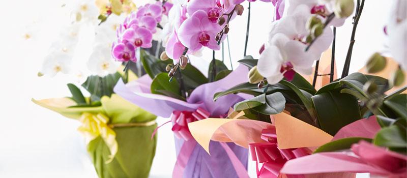 喜ばれる胡蝶蘭の贈り方