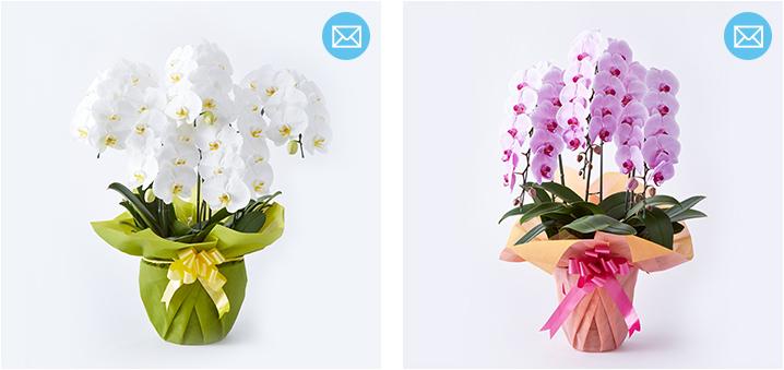 どのような胡蝶蘭が届くのか、写真を送信いたします
