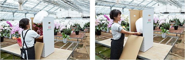 鉢植えの胡蝶蘭を保護するため、丁寧に梱包いたします