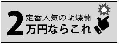 定番人気の胡蝶蘭2万円ならこれ