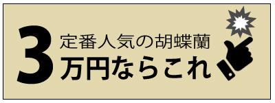 定番人気の胡蝶蘭3万円ならこれ