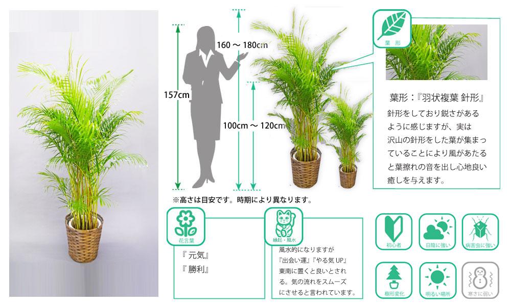 観葉植物図鑑 アレカヤシ