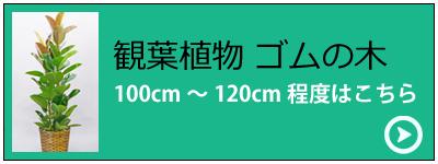 観葉植物ゴムの木 セミスタンダードタイプ(バスケット付)