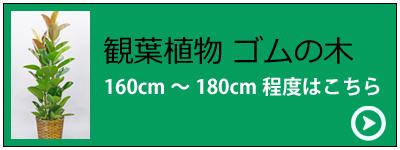 観葉植物ゴムの木 スタンダードタイプ(バスケット付)