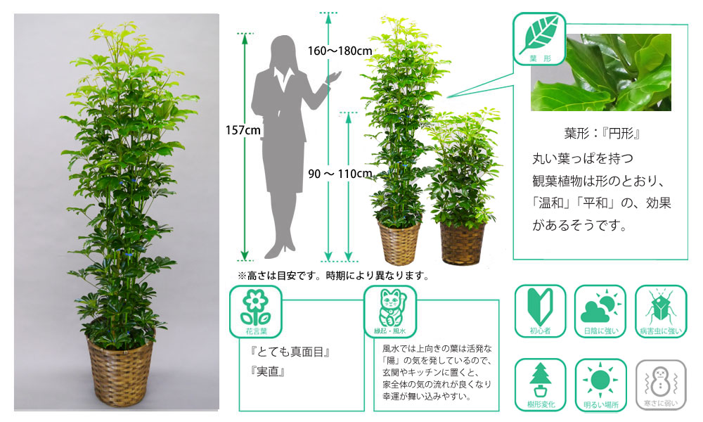 観葉植物図鑑 カポック