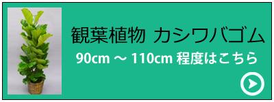 観葉植物カシワバゴム セミスタンダードタイプ(バスケット付)