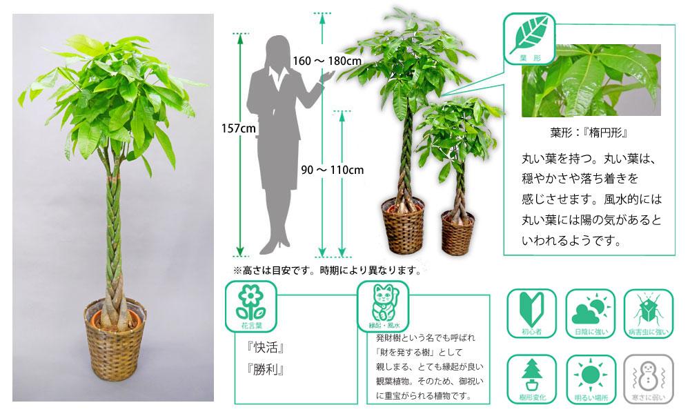 観葉植物図鑑 パキラ