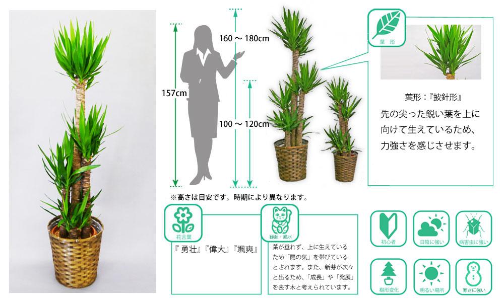 観葉植物図鑑 ユッカ