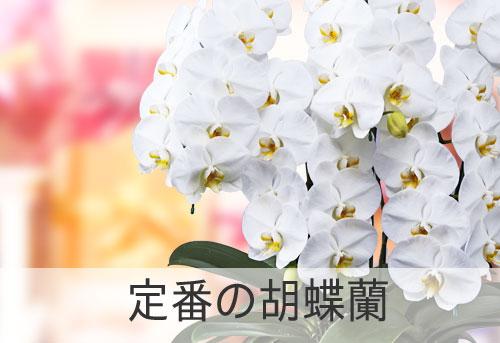 定番の胡蝶蘭