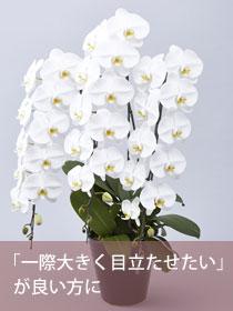 胡蝶蘭大輪(白)3本立 極(きわみ)