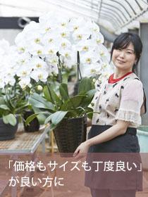 胡蝶蘭大輪(白)5本立 極(きわみ)