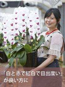 胡胡蝶蘭大輪(リップ)3本立 華(はな)