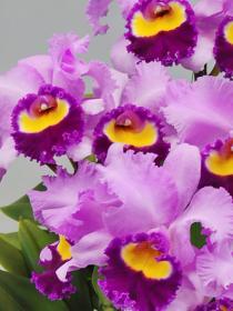 カトレア(紫)