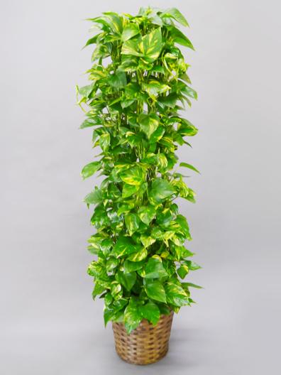 観葉植物ポトス スタンダードタイプ(バスケット付)