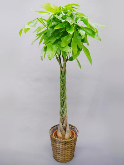 人気第2位 観葉植物パキラ スタンダード
