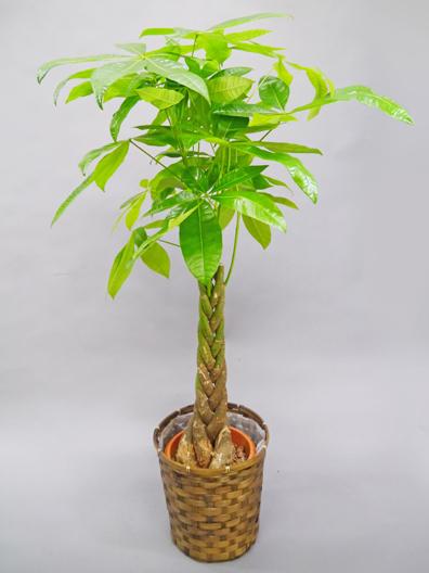 人気第1位 観葉植物パキラ セミスタンダード